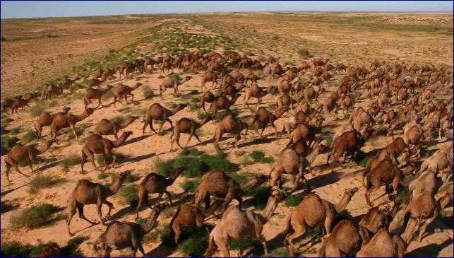 Somaliland: Urur Walaac Ka Muujiyey Geel Faro Badan Oo Dawladda Australia Laynayso.
